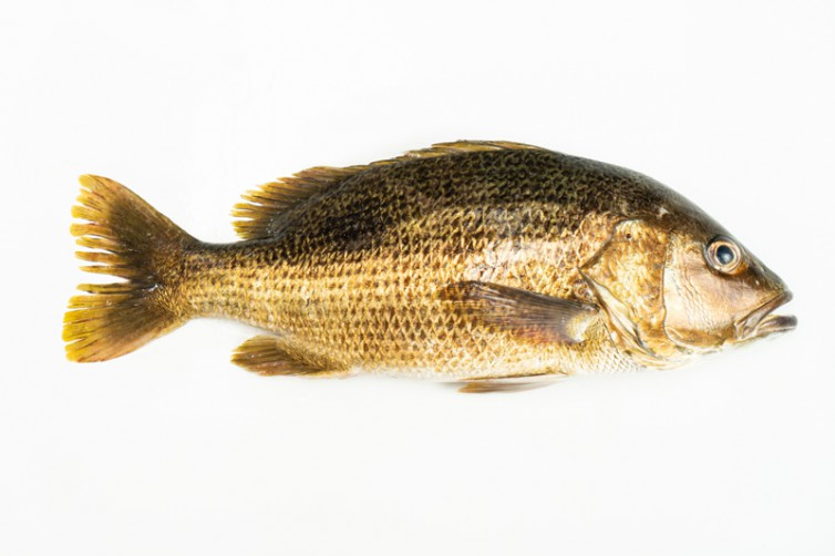 Fresh Golden Snapper delivery to you - Oktopurs Online