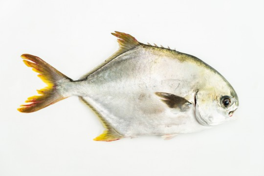 Fresh Silver Pomfret delivery to you - Oktopurs Online