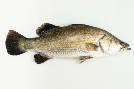 Fresh Seabass (Siakap) delivery to you - Oktopurs Online