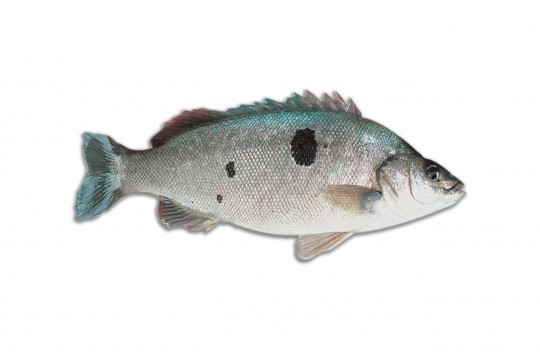 Fresh Australian Jade Perch delivery to you - Oktopurs Online