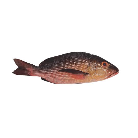 Oktopurs Online - Wild Sabah Red Bass